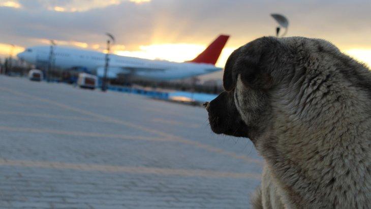 エア・ドゥが9月末迄全便で短頭種犬の預かりを中止⁉いったいなぜ?