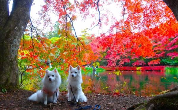 愛犬と秋の軽井沢、レストランピレネーと紅葉の雲場池