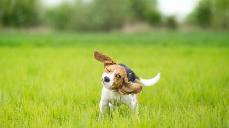 犬が『ブルブルする』のってなぜ?4つの理由と注意すべきコト