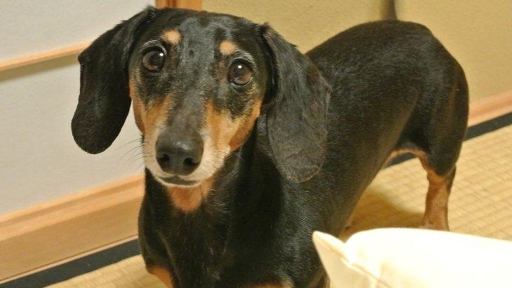 犬とビタミンCの関係について 合成量〜がん治療まで