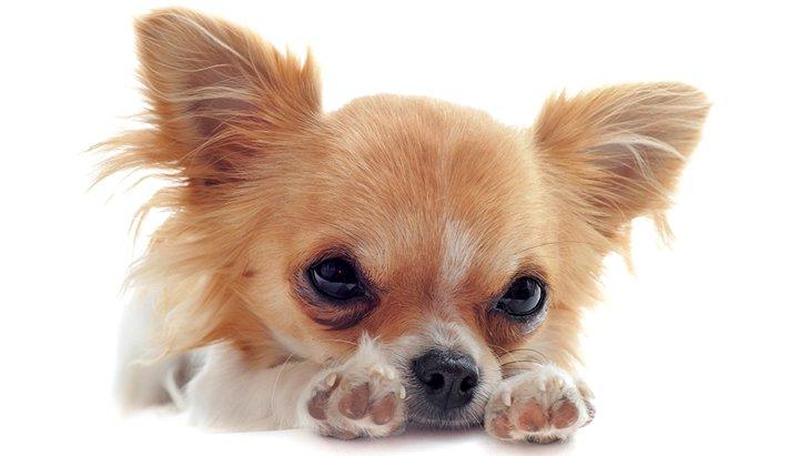 遺伝性疾患を持つ犬の購入トラブル多発!高リスク繁殖の背景にあるものとは