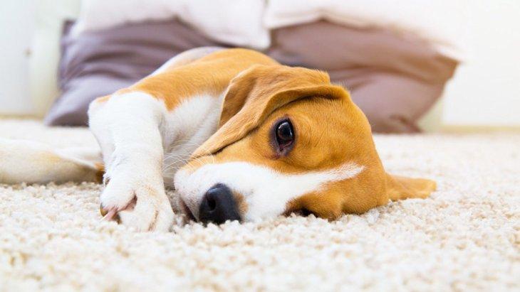 犬のショック状態とは?主な症状と起こる原因、対処法まで