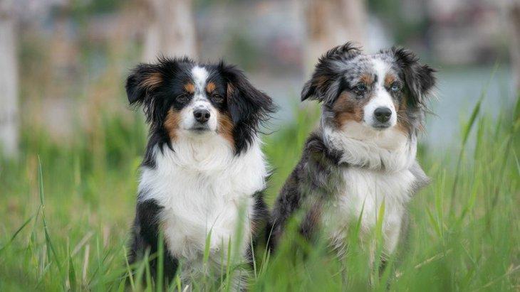 犬とオオカミは同等の「協力する能力」を持っているという研究結果