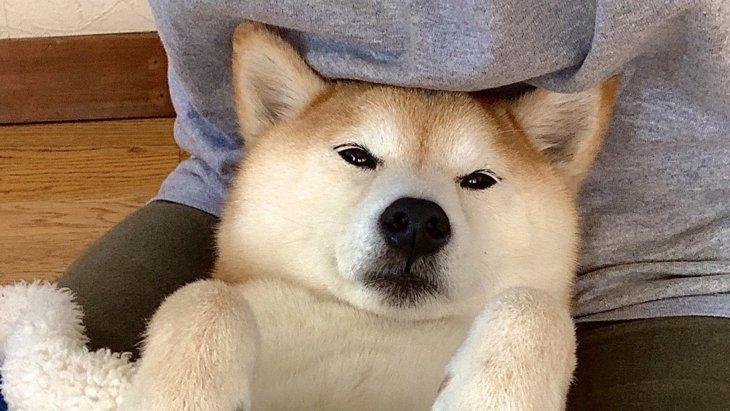 『柴犬型あんか(非売品)』何それ欲しい!とTwitterで話題♡