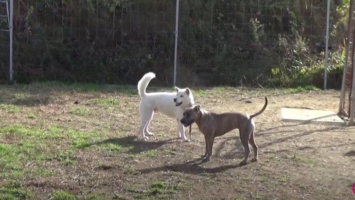 犬界のルールと絆!ハンデある仲間を守るピットの姿に感涙