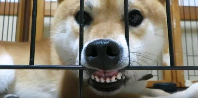 目は口ほどに物を言う?表情で感情が伝わりすぎる柴犬ちゃん