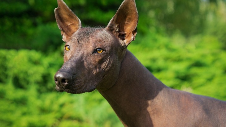 ショロ(Xolo)ってどんな犬?性格や特徴、飼い方まで