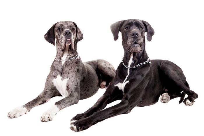 グレートデンってどんな犬?性格や特徴について