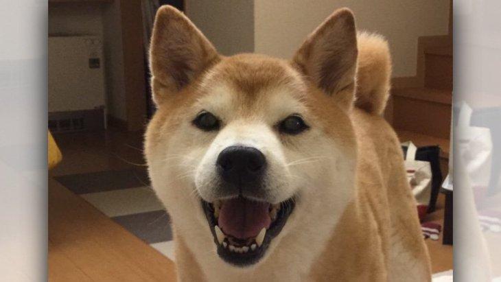 【ツイッター】14歳の柴犬さんのアカウントを作った理由とは?