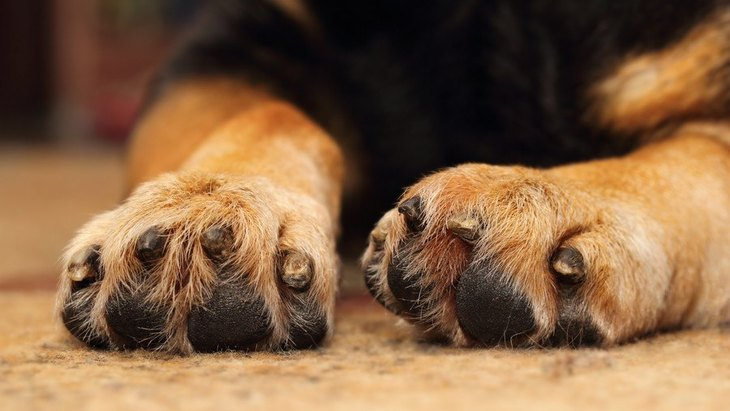犬の爪が折れる原因3つと対処法