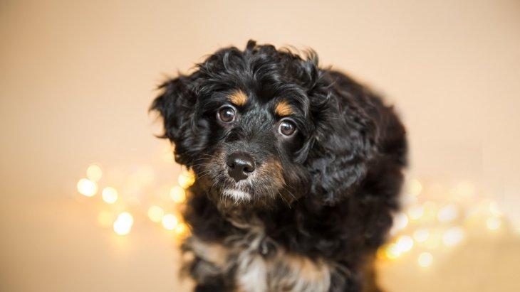 キャバプーはキャバリアとトイプードルのミックス犬!その性格や魅力とは?