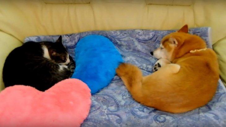 仲良く同じ体勢でぐっすり眠るワンコとニャンコに癒やされる♡