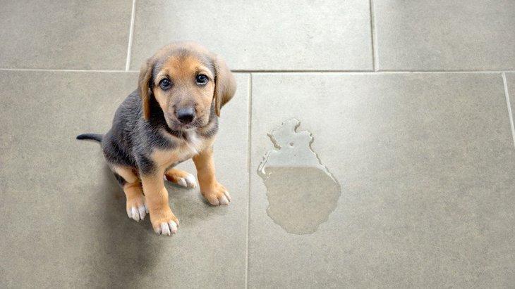 犬が『うれしょん』をしてしまう心理3選!どうして嬉しくておしっこをしてしまうの?