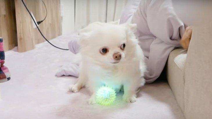 光るボールをゲットしたチワワちゃん!さて、ちゃんと遊べるかな?