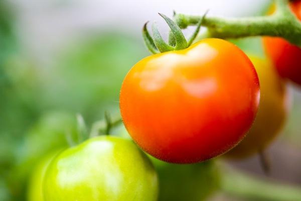 犬にトマトを与えても大丈夫!抗癌作用や老化防止に効果的!