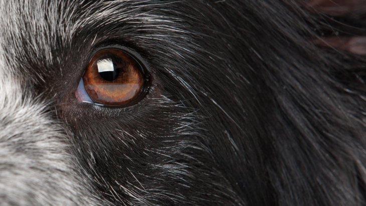 新しく発見された犬の失明に関連する遺伝子変異
