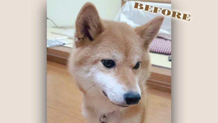 保健所からレスキューされた柴犬ちゃんの劇的ビフォーアフターが話題!