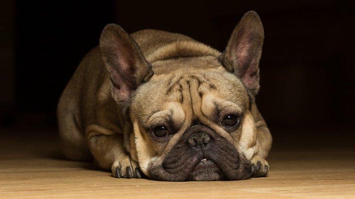犬の小肝症とは?主な症状や原因、対処法から予防法まで