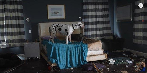 異様な光景…豪邸の内部はグレートデーンの劣悪な子犬工場だった!