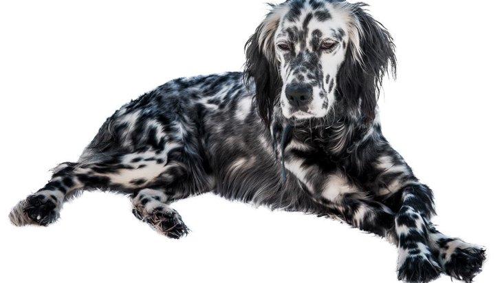 イングリッシュセッターの性格や特徴、しつけや寿命から子犬の価格まで