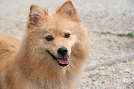 ポメ柴ってどんな犬?その性格や特徴