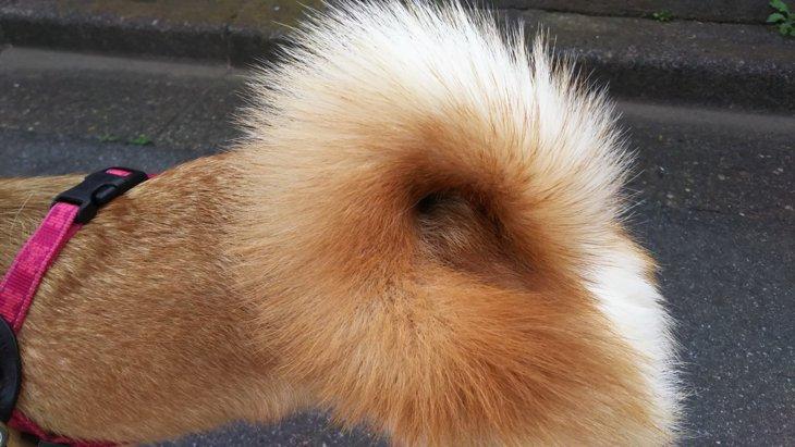 愛犬が尻尾を噛まれた!お散歩中に起きたまさかの出来事