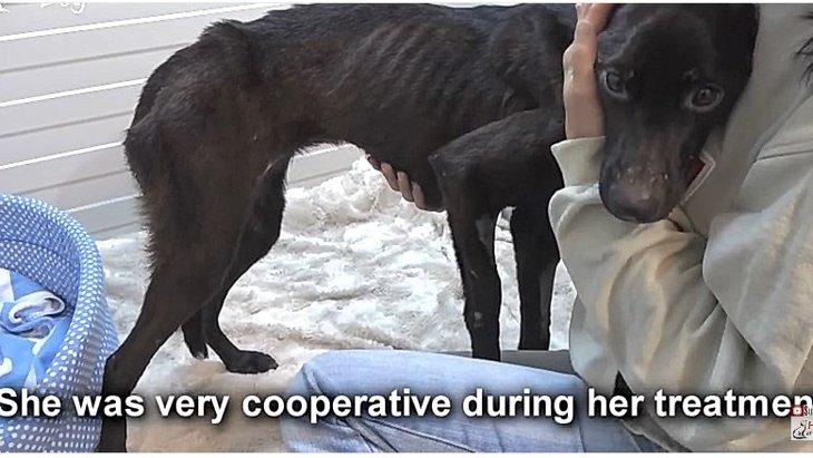 飢餓状態であばら骨が見えていた犬に救助の手が!