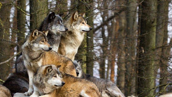 オオカミに近い犬種7選