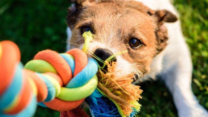 おもちゃの『引っ張りっこ』が犬に与えるメリットとは?どのくらいの頻度でやればいい?