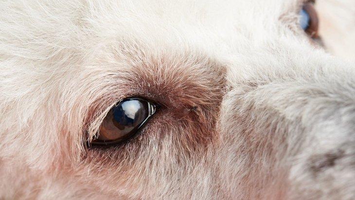 犬の目の色が変化した時に考えられる病気の可能性と治療法