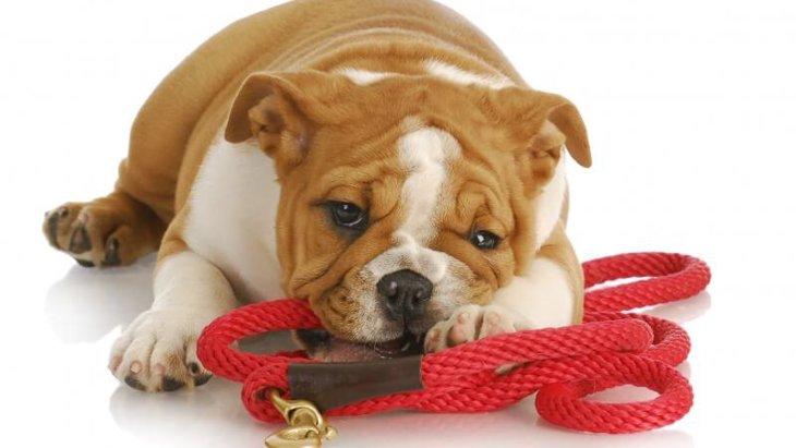 ロングリードについて。トレーニングで愛犬に「おいで」を教えよう!