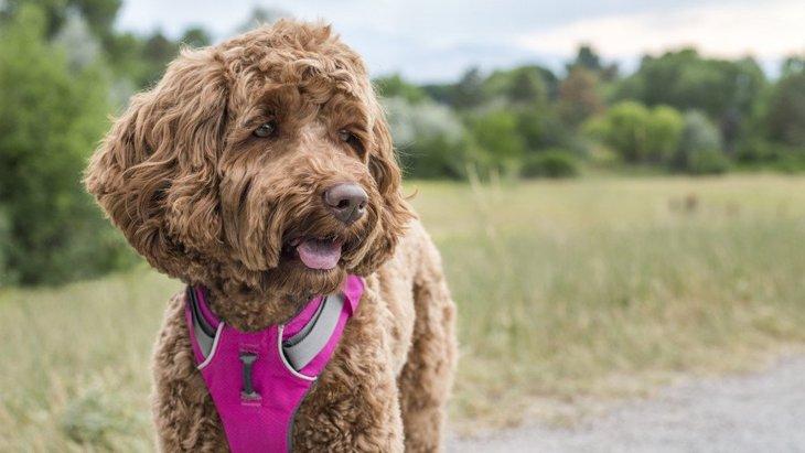 犬に使うべきではない『ハーネス』の特徴3選!NGな理由や正しい選び方を解説