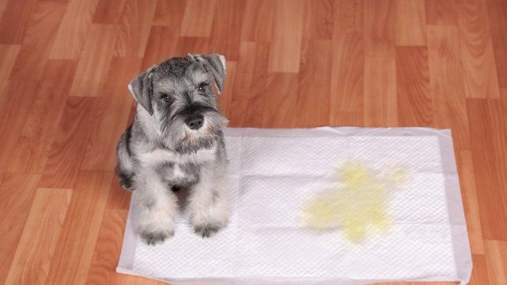 犬の『危険なおしっこ』5選!色やニオイの特徴・適切な対処法を解説