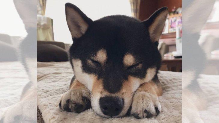 【愛犬あるある】この後の展開を知らず…油断し過ぎの柴犬さん♡