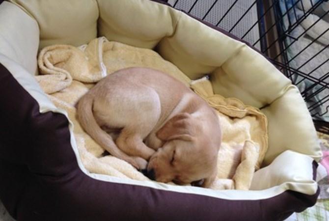 パピーウォーカーについて 盲導犬ボランティア