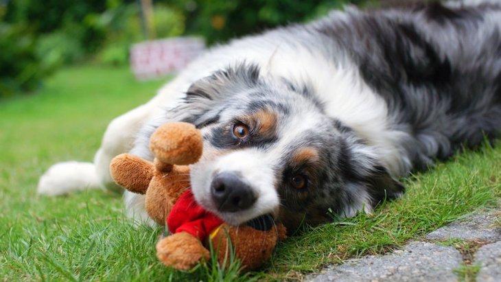 犬がぬいぐるみを片時も離さない時の気持ちとは?偽妊娠の可能性も?