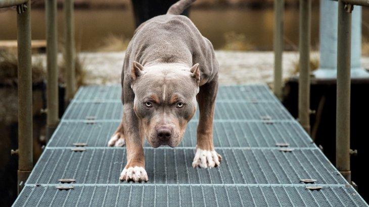 ピットブルが世界で最も危険な犬種と言われている理由