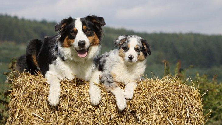 牧羊犬はどうやって羊を集めるの?