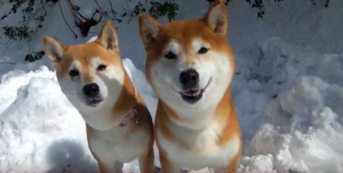 雪壁のぼりで「ドヤ顔」する柴犬親子が超かわいい♡