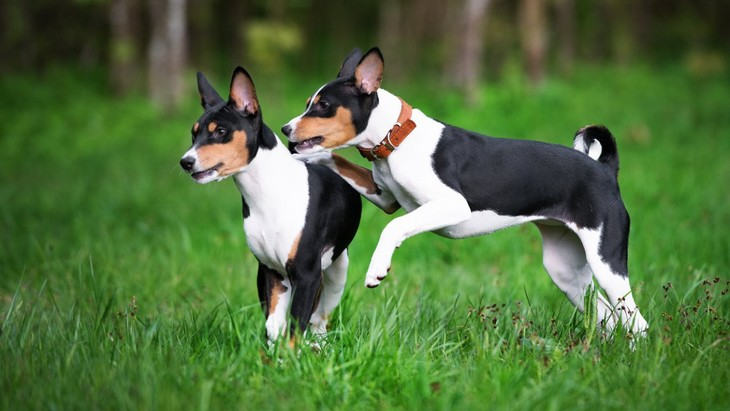 古代犬バセンジーのゲノム解析は犬の進化を読み解く大きな手がかりに