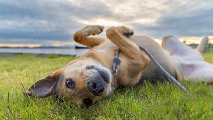 犬が散歩中、地面に体をこすりつける心理4選