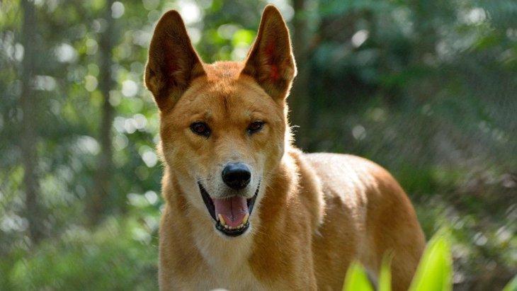 ディンゴってどんな犬?見た目は柴犬、性格はオオカミに似た野生犬