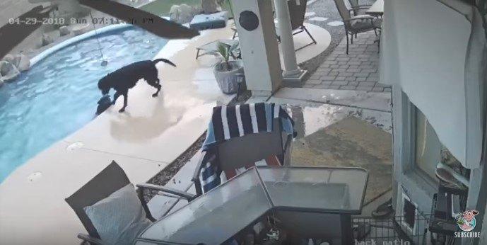 防犯カメラは見た!水中でパニックの友犬を助けたい一心で行動した犬