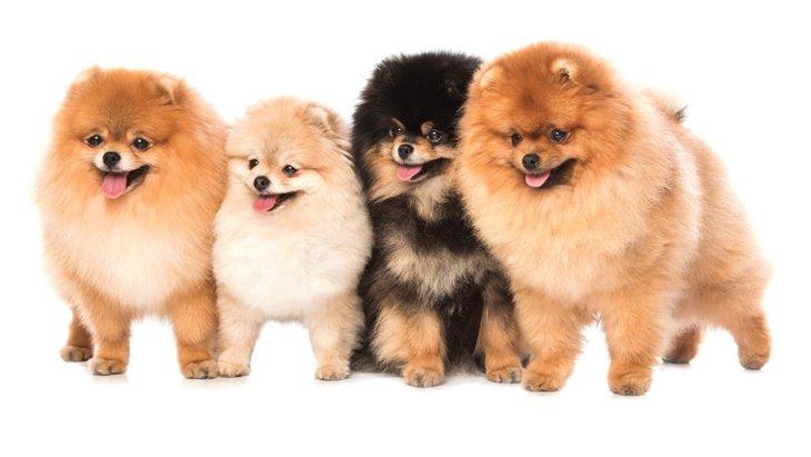 もふもふな犬種6選!特徴や飼うときの注意点など