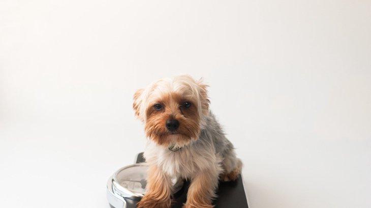 犬の平均体重を知ろう!肥満の予防法から適正値を維持する管理法まで