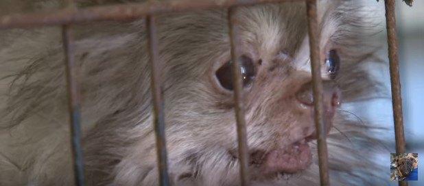 劣悪な子犬工場から救出されたチワワ。健康状態は最悪、でも気分は最高!