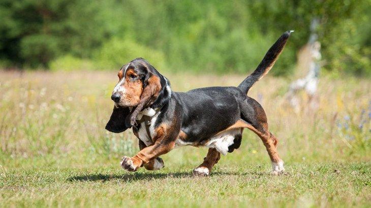 バセットハウンドの性格と特徴、子犬の値段から飼い方まで