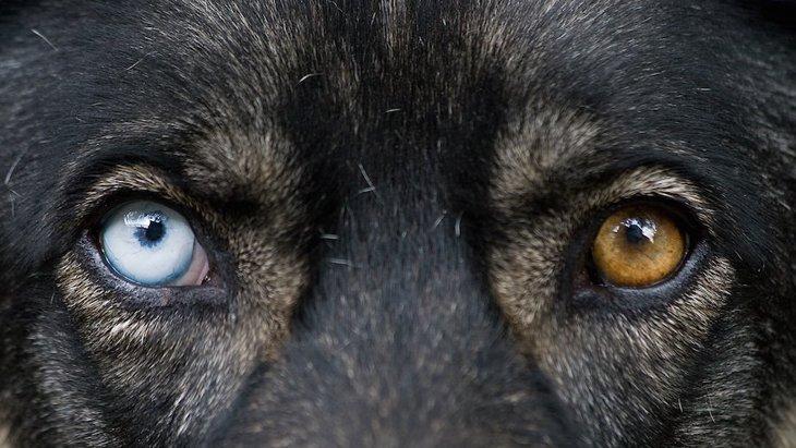 なぜ左右の目の色が違う「オッドアイ」の犬は生まれるの?