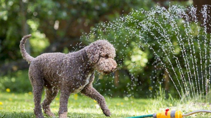 犬が『暑い時』によくする仕草や行動5選!見逃さずに適切な暑さ対策を!