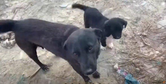 子犬が人々と共存するために『教育』する野良ママ犬の行動に思わず感心!